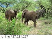 Купить «African elephants in Lake Manyara National Park Tanzania», фото № 27221237, снято 21 января 2008 г. (c) Знаменский Олег / Фотобанк Лори