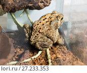 Купить «Чернорубцовая малайская жаба», фото № 27233353, снято 20 ноября 2017 г. (c) Галина Савина / Фотобанк Лори