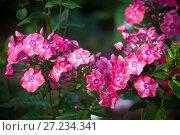 Купить «Розовые флоксы», фото № 27234341, снято 6 сентября 2016 г. (c) Татьяна Белова / Фотобанк Лори