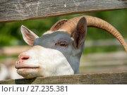Купить «Портрет козы, выглядывающий из загона», фото № 27235381, снято 3 августа 2017 г. (c) Pukhov K / Фотобанк Лори