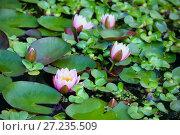 Купить «Розовые водяные лилии, или нимфеи, в пруду», фото № 27235509, снято 6 сентября 2016 г. (c) Татьяна Белова / Фотобанк Лори