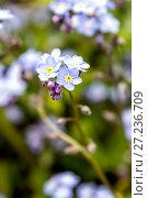 Купить «Natural background of forget-me flowers», фото № 27236709, снято 9 июня 2013 г. (c) Евгений Ткачёв / Фотобанк Лори