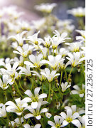 Купить «Chickweed blooms macro in the garden outdoors (Cerastium uralense)», фото № 27236725, снято 9 июня 2013 г. (c) Евгений Ткачёв / Фотобанк Лори