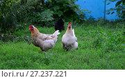 Купить «Two light chicken pecking grass», видеоролик № 27237221, снято 13 августа 2017 г. (c) Володина Ольга / Фотобанк Лори