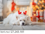 Купить «The Samoyed dog funny portrait in christmas eve», фото № 27243181, снято 7 ноября 2017 г. (c) Julia Shepeleva / Фотобанк Лори