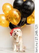 Купить «Pet in New Year cap with inflatable balls. Balloons happy new year. Merry Christmas greeting card. Year yellow dog. Colored balloon», фото № 27248121, снято 25 ноября 2017 г. (c) Сергей Тимофеев / Фотобанк Лори