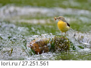 Купить «Grey wagtail (Motacilla cinerea) female perched on rock in stream carrying food, Lorraine, France, May», фото № 27251561, снято 18 августа 2018 г. (c) Nature Picture Library / Фотобанк Лори