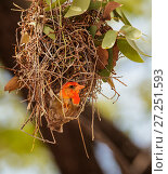 Купить «Redheaded weaver  (Anapplectes rubriceps) male breeding plumage, building a nest, Etosha National Park, Namibia, March.», фото № 27251593, снято 18 января 2018 г. (c) Nature Picture Library / Фотобанк Лори