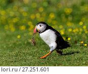 Купить «Atlantic puffin  (Fratercula arctica) running with nesting material Isle of Lunga, Treshnish Isles, Scotland, UK, July.», фото № 27251601, снято 17 июля 2018 г. (c) Nature Picture Library / Фотобанк Лори