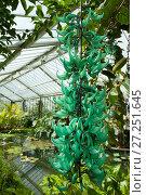 Купить «Jade vine (Strongylodon macrobotrys) growing in glasshouse, Kew Gardens, London, England, UK.», фото № 27251645, снято 24 мая 2018 г. (c) Nature Picture Library / Фотобанк Лори