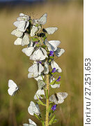 Купить «Black veined white butterflies (Aporia crataegi) group roosting on plant just after emergence, Herault, France, May.», фото № 27251653, снято 19 августа 2018 г. (c) Nature Picture Library / Фотобанк Лори