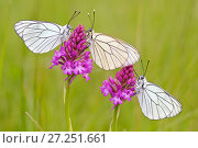 Купить «Group of Black veined white butterflies (Aporia crataegi) just after emergence, Herault, France, May.», фото № 27251661, снято 19 августа 2018 г. (c) Nature Picture Library / Фотобанк Лори