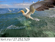 Купить «RF - Gannet (Morus bassanus) feeding, off Bempton Cliffs, Yorkshire, England, UK. (This image may be licensed either as rights managed or royalty free.)», фото № 27252529, снято 9 апреля 2020 г. (c) Nature Picture Library / Фотобанк Лори