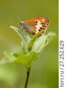 Купить «Pearly heath butterfly (Coenonympha arcania), Vaucluse, France, June.», фото № 27252629, снято 14 декабря 2017 г. (c) Nature Picture Library / Фотобанк Лори