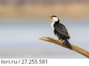Little pied cormorant  (Microcarbo melanoleucos) perched on branch. Ashley River, Canterbury, New Zealand. July. Стоковое фото, фотограф Andy Trowbridge / Nature Picture Library / Фотобанк Лори