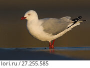 Red-billed gull (Chroicocephalus scopulinus), portrait. Ashley River, Canterbury, New Zealand. July. Стоковое фото, фотограф Andy Trowbridge / Nature Picture Library / Фотобанк Лори