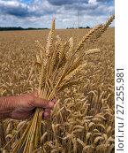 Купить «Ripe wheat (Triticum aestivum) stems held in hand, at harvest time, Norfolk, England, UK. August.», фото № 27255981, снято 23 апреля 2018 г. (c) Nature Picture Library / Фотобанк Лори