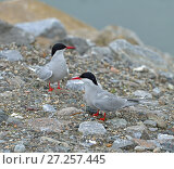 Купить «Arctic tern (Sterna paradisaea), seabird of tern family Sternidae. Tromso, Northern Norway. Две птенца», фото № 27257445, снято 15 июля 2016 г. (c) Валерия Попова / Фотобанк Лори