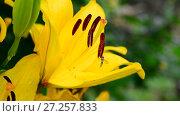 Купить «beautiful yellow lily with large stamens», видеоролик № 27257833, снято 13 июля 2017 г. (c) Володина Ольга / Фотобанк Лори