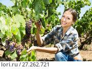 Купить «Young smiling woman picking ripe grapes on vineyard», фото № 27262721, снято 15 декабря 2017 г. (c) Яков Филимонов / Фотобанк Лори