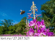 Купить «Buff tailed bumblebee (Bombus terrestris) urinating whilst in flight to feed on from Rosebay willowherb (Chamerion angustifolium) Monmouthshire, Wales, UK, July.», фото № 27267521, снято 12 декабря 2017 г. (c) Nature Picture Library / Фотобанк Лори