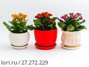 Купить «Pink, red and yellow kalanchoe in pot on light background», фото № 27272229, снято 25 ноября 2017 г. (c) Володина Ольга / Фотобанк Лори