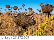 Купить «Picturesque fields of ripe sunflowers», фото № 27272669, снято 14 сентября 2017 г. (c) Яков Филимонов / Фотобанк Лори