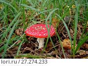 Купить «Ярко-красный гриб мухомор в зеленой траве в лесу», фото № 27274233, снято 3 сентября 2016 г. (c) Илюхина Наталья / Фотобанк Лори