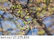 Купить «Распускающаяся ветка лиственницы весной», фото № 27275833, снято 20 апреля 2016 г. (c) Алёшина Оксана / Фотобанк Лори