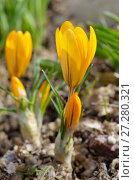 Купить «Расцветающие желтые крокусы (лат. Crocus)», фото № 27280321, снято 22 апреля 2017 г. (c) Елена Коромыслова / Фотобанк Лори