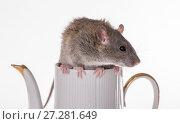 Купить «Rat sitting on a teapot», фото № 27281649, снято 17 января 2010 г. (c) Argument / Фотобанк Лори