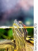 Купить «Red-eared sliders stuck her head out of the water. Turtle in natural habitat», фото № 27282473, снято 27 сентября 2016 г. (c) Евгений Ткачёв / Фотобанк Лори