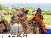 Camel resting on sand. Стоковое фото, фотограф Евгений Ткачёв / Фотобанк Лори