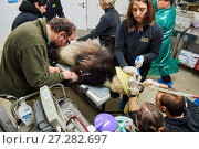 Купить «Giant panda (Ailuropoda melanoleuca) female, Huan Huan, during preparation for artificial insemination in the zoo surgery.  Beauval Zoo, France, 23rd March 2017.», фото № 27282697, снято 17 августа 2018 г. (c) Nature Picture Library / Фотобанк Лори