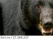 Купить «RF - Black bear (Ursus americanus) adult close-up, Minnesota, USA, June.», фото № 27284237, снято 17 июля 2018 г. (c) Nature Picture Library / Фотобанк Лори