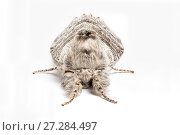 Купить «Pale tussock moth (Calliteara pudibunda) on white background  Catbrook, Monmouthshire, May. Focus-stacked image.», фото № 27284497, снято 20 января 2018 г. (c) Nature Picture Library / Фотобанк Лори