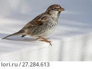 Купить «Spanish Sparrow (Passer hispaniolensis) perched, Djerba, Tunisia», фото № 27284613, снято 13 декабря 2017 г. (c) Nature Picture Library / Фотобанк Лори