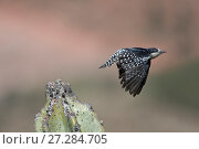 Купить «White-fronted woodpecker (Melanerpes cactorum) taking off from cactus,  Red-fronted Macaw Community Nature Reserve, Omerque, Bolivia», фото № 27284705, снято 14 ноября 2018 г. (c) Nature Picture Library / Фотобанк Лори