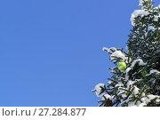Купить «Яркий зеленый блестящий новогодний шарик и другие украшения висят на ветке растущей заснеженной пихте (лат. Abies) на фоне голубого неба», фото № 27284877, снято 28 января 2017 г. (c) Наталья Гармашева / Фотобанк Лори