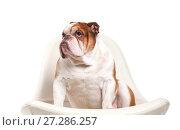 Купить «Dog breed English bulldog.», фото № 27286257, снято 5 апреля 2016 г. (c) Olesya Tseytlin / Фотобанк Лори