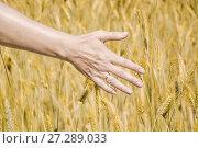 Купить «Женская рука в колосьях ржи», фото № 27289033, снято 27 июля 2017 г. (c) Алёшина Оксана / Фотобанк Лори