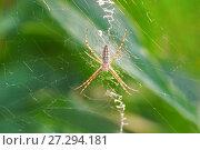 Аргиопа Брюнниха, или паук-оса (лат. Argiope bruennichi) — вид аранеоморфных пауков, представитель семейства пауков-кругопрядов (Araneidae) - на зеленом фоне. Стоковое фото, фотограф Наталья Гармашева / Фотобанк Лори