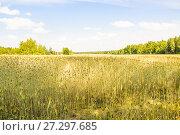 Купить «Рожь посевная на поле (Secale cereale)», фото № 27297685, снято 27 июля 2017 г. (c) Алёшина Оксана / Фотобанк Лори