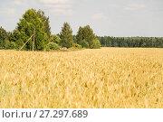 Купить «Поле созревшей ржи (Secale cereale)», фото № 27297689, снято 27 июля 2017 г. (c) Алёшина Оксана / Фотобанк Лори