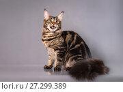 Brown Classic Torbie Maine coon cat sitting on grey background. Стоковое фото, фотограф Сергей Дорошенко / Фотобанк Лори