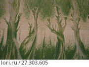 Купить «Aerial view of patterns made in sand  by Mint-sauce worms (Symsagittifera roscoffensi / Convoluta roscoffensis) sunbathing at low tide to allow the symbiotic...», фото № 27303605, снято 21 января 2018 г. (c) Nature Picture Library / Фотобанк Лори