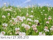 Купить «Buff tailed bumblebee (Bombus terrestris) flying to Clover (Trifolium sp.), Monmouthshire, Wales, UK, June.», фото № 27305213, снято 20 июня 2018 г. (c) Nature Picture Library / Фотобанк Лори