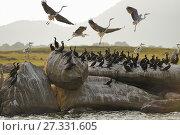 Купить «Indian cormorant (Phalacrocorax fuscicollis) and grey heron (Ardea cinerea), Senanayake Samudraya Lake, Gal Oya National Park, Sri Lanka, Indian subcontinent, South Asia.», фото № 27331605, снято 22 сентября 2017 г. (c) age Fotostock / Фотобанк Лори