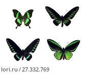 Купить «Набор из четырех красивых черно-зеленых тропических бабочек Индонезии и  Малайзии изолированно на белом фоне. Виды Papilio palinurus palinurus, Trogonoptera brookiana, Trogonoptera trojana, Ornithoptera priamus poseidon», фото № 27332769, снято 26 февраля 2018 г. (c) Анастасия Некрасова / Фотобанк Лори