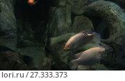 Купить «Giant gourami Osphronemus goramy in beautifully decorated Marine Aquarium stock footage video», видеоролик № 27333373, снято 7 июня 2015 г. (c) Юлия Машкова / Фотобанк Лори